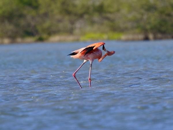 American Flamingo 11Feb21-12
