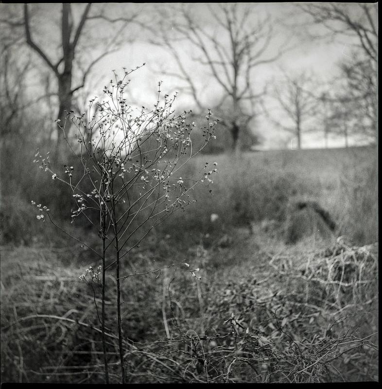 dried floral forms, winter landscape, Biltmore Estate, Asheville, NC, Yashica D, Fomapan 400, Moersch Eco film developer, 2.28.21