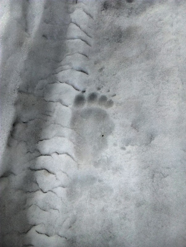 Seb was so excited to see these bear tracks.  It was the first time he had ever seen bear tracks.  He's still never seen a bear! by bryandkeith on flickr