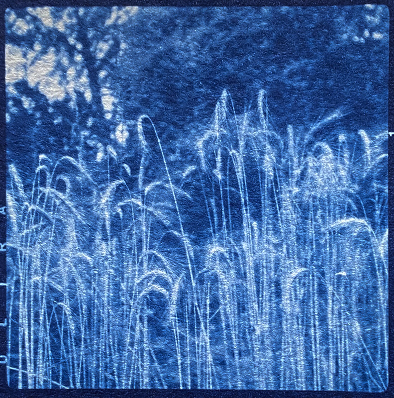 tall, willowy grasses, French Broad River, Asheville, NC, cyanotype, natural fiber hot press paper, Welta Flektar twin lens reflex, Fomapan 200, Moersch Eco film developer, shot 7.9.20, printed 3.3.21