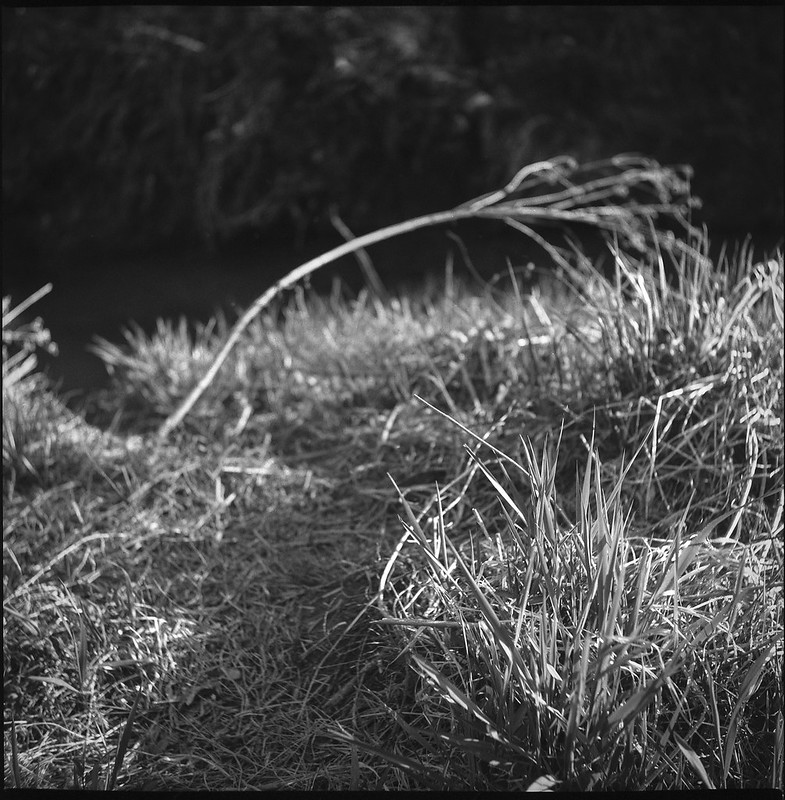 wildflowers and grasses, dried, creek-side, land below Sam's Club, Asheville, NC, Yashica D, Foma 200, Ilfosol 3 developer, 3.21.21