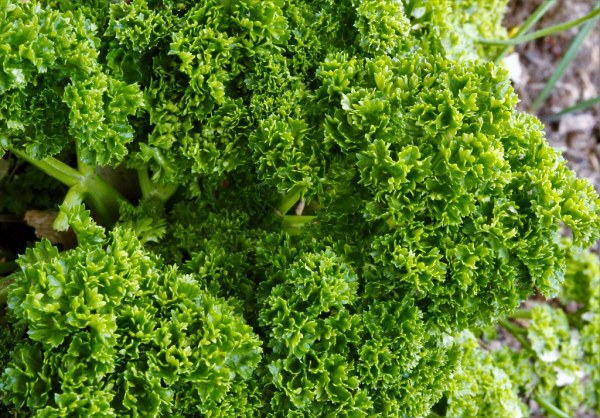 2021 WEEK 13: close up – edible plants - Triple Curled Parsley