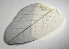 Dried husk leaf shadow