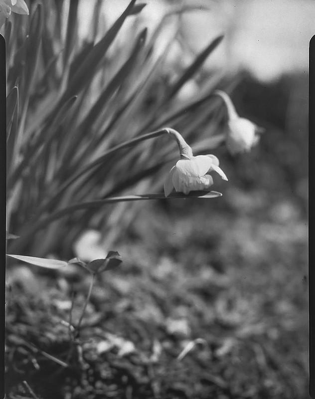 early blooming tulips, yard, Asheville, NC, Folmer Graflex Corp. R.B. Series B, Kodak Anastigmat f/4.5 6 3/8 in., 3.25 x 4.25, Adox CHS 100 II, Ilford Ilfosol 3 developer, 3.7.21