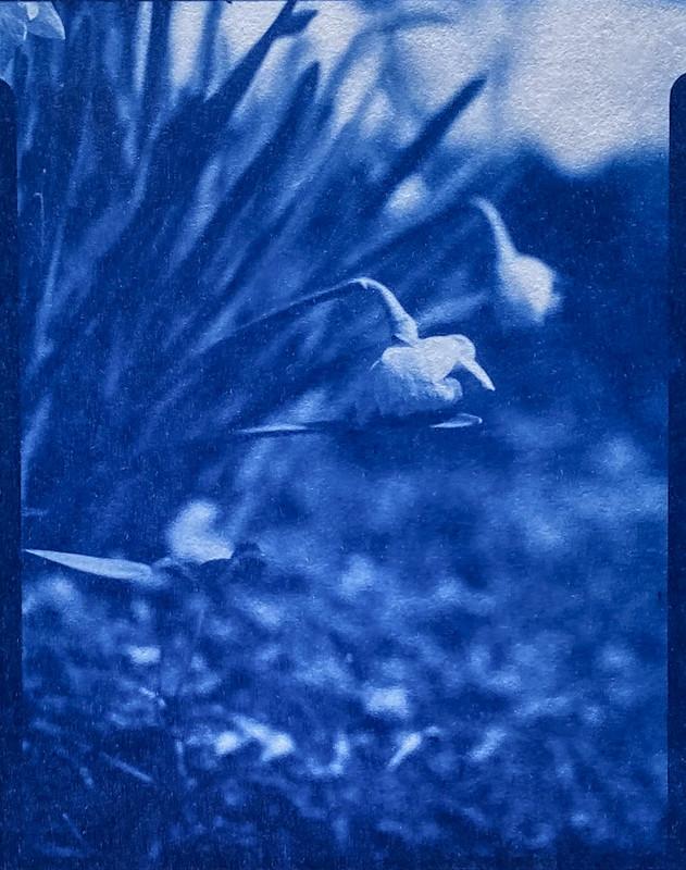 cyanotype, natural fiber hot press paper- blooming daffodils, yard, Asheville, NC, Folmer Graflex R.B. Series B, Kodak Anastigmat f-4.5, 3.25 x 4.25, Adox CHS 100 II, Ilfosol 3 developer, 3.7.21