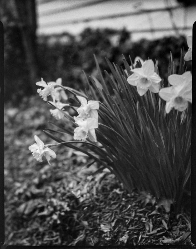 early spring blossoms II, yard, Asheville, NC, Folmer Graflex Corp. R.B. Series B, Kodak Anastigmat f-4.5, Adox CHS 100 II, Ilfosol 3 developer, 3.12.21