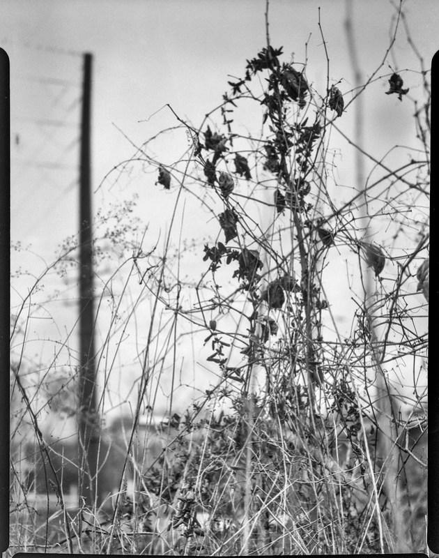 power lines, dried leaves and vines, Riverside Drive, Asheville, NC,  Folmer Graflex Corp. R.B. Series B, Kodak Anastigmat f-4.5, Adox CHS 100 II, Ilfosol 3 developer, 3.16.21