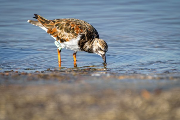 Ruddy Turnstone =53