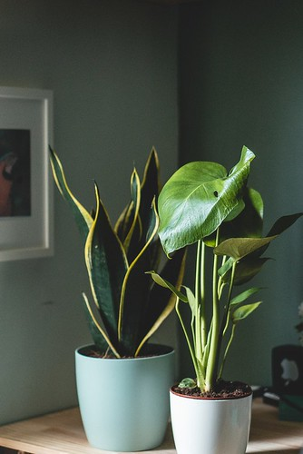 Philodendron and Spider plant
