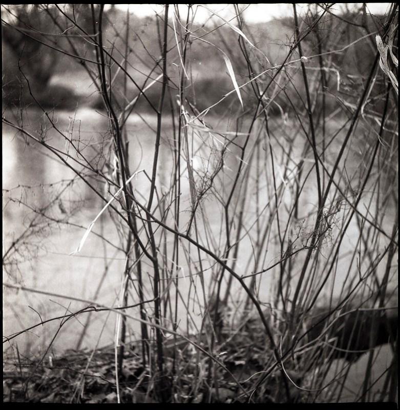 dried grasses and dormant saplings, Hominy Creek River Park, Asheville, NC, Yashica D, Fomapan 200, Ilford Ilfosol 3 developer, 3.22.21