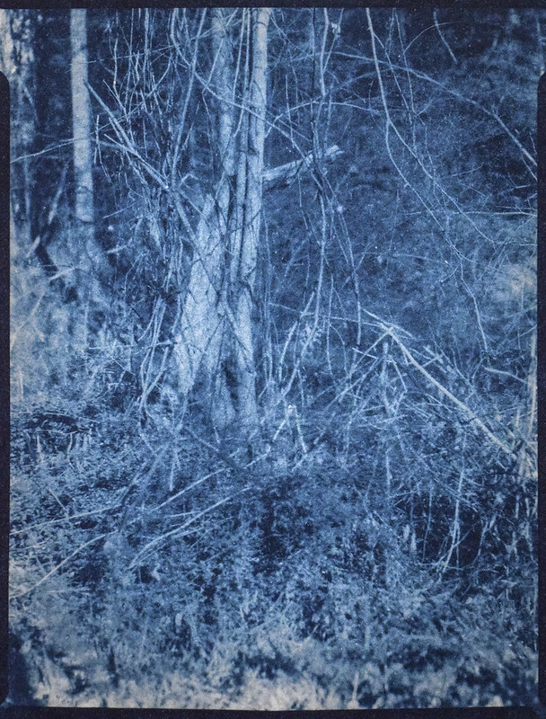 forest's edge, thicket, West Asheville, NC, Cyanotype, Folmer Graflex Corp. R.B. Series B, Kodak Anastigmat f-4.5, Adox CHS 100 II, Ilfosol 3 developer, 3.21.21