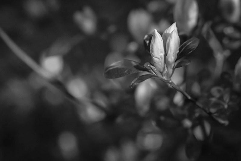 white azaleas, coming to blossom, yard, Asheville, NC, Nikon D3300, nikon nikkor 55mm f-3.5, 4.11.21
