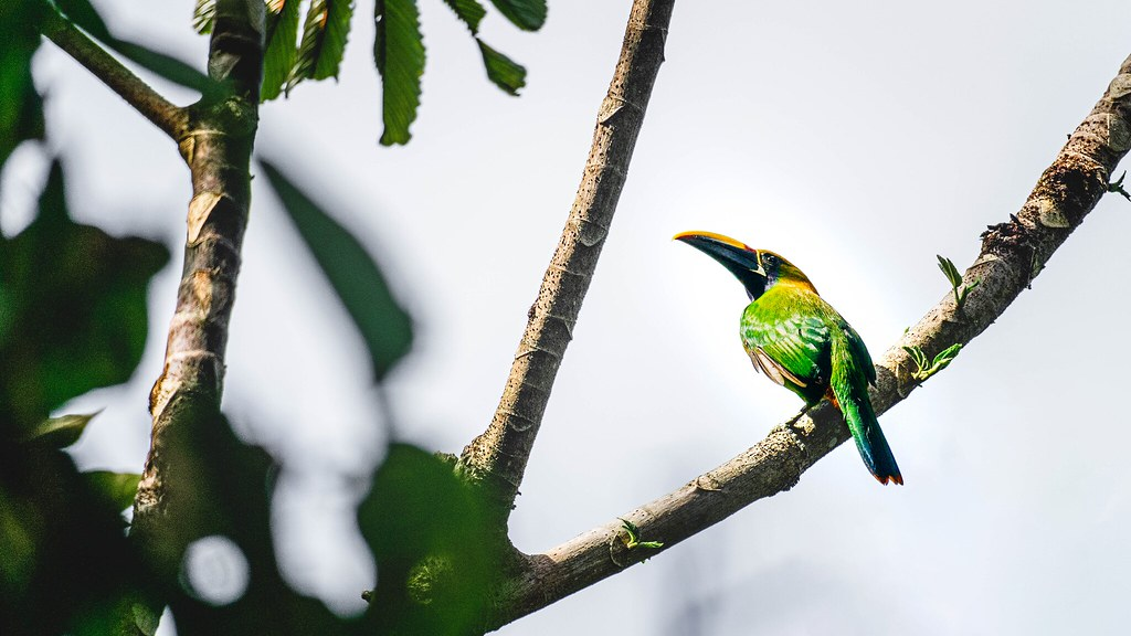 The Emerald Toucanet