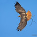 With Wings Spread A Red-tailed Hawk Flies Downward With A Stick In Its Talons
