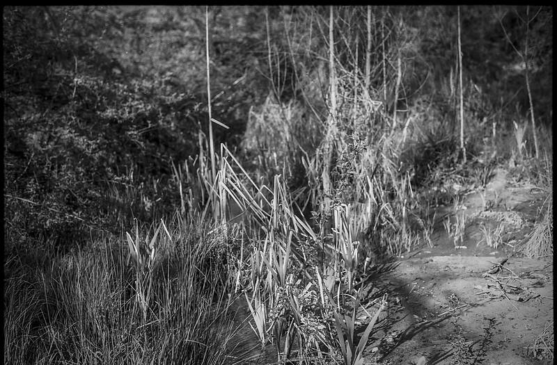 plant forms, emerging and dissipating, mud, shadows, wetland, Biltmore Estate, Asheville, NC, Konica Autoreflex T, Hexanon 57mm 1.4, Foma 200, Ilfosol 3 developer, 4.17.21