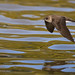 Northern Rough-winged Swallow Flying Low Over Water With Wings Down