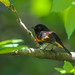 American Redstart, Up Close