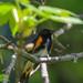 American Redstart, Singing