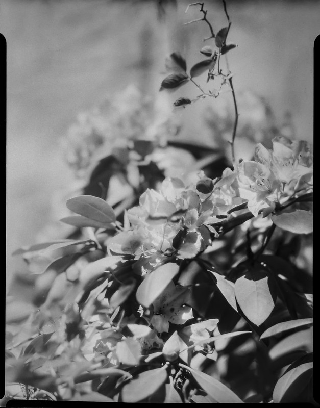 blossoms, rhododendron, Asheville, NC, Folmer Graflex R.B. Series B, Kodak Anastigmat f-4.5, Adox CHS 100 II, Ilfosol 3 developer, 5.7.21