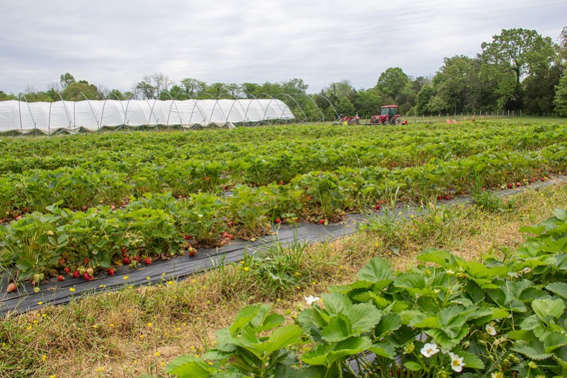 Strawberry Picking6
