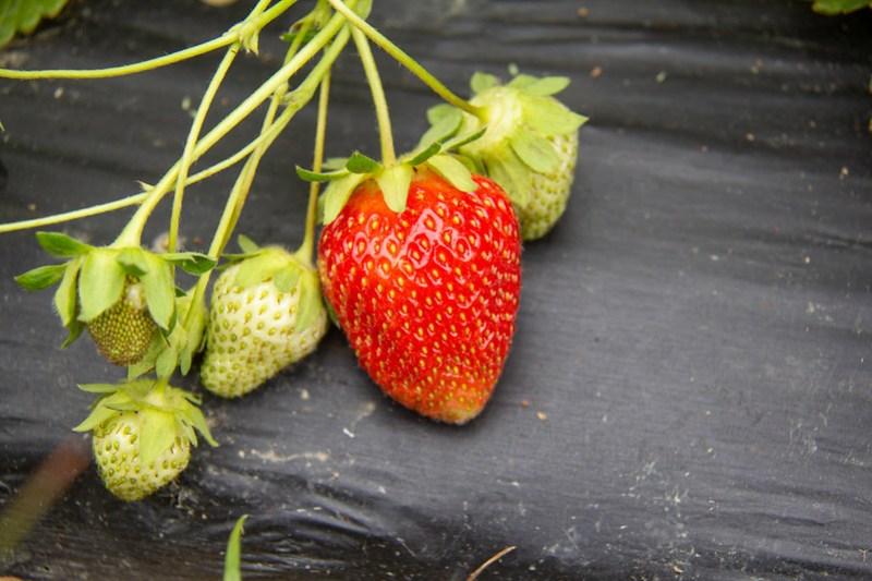 Strawberry Picking4