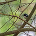 """Black-Throated Blue Warbler"""