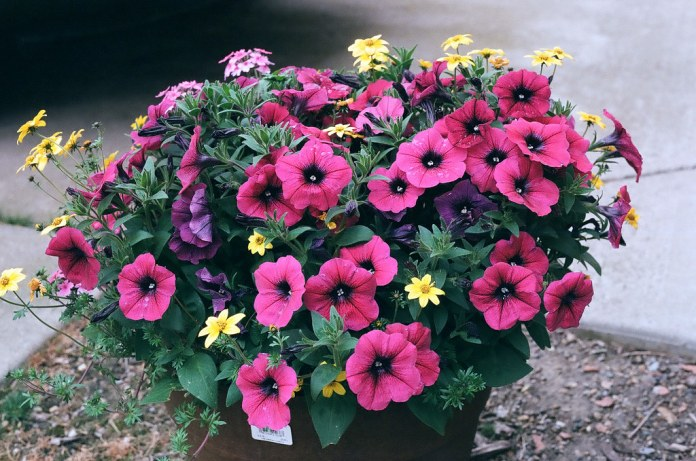Potted pink posies