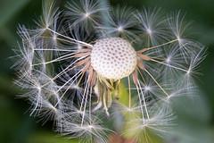 Dandelion fairy cu