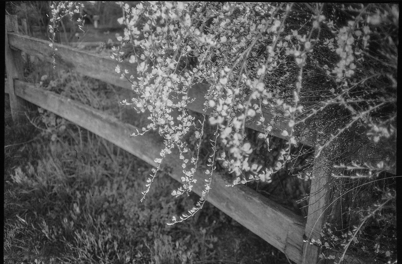 tiny blossoms, willowy branches, split rail fence, Asheville, NC, Nikon L35AF2 (One Touch), Arista.Edu 200, Ilfosol 3 developer, Early May, 2021