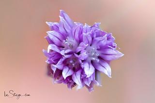 Macro del fiore di erba cipollina
