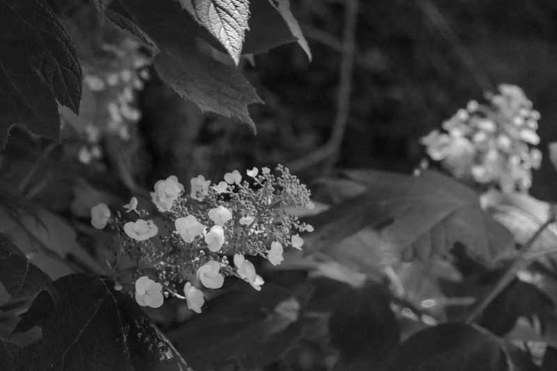 blossoms, oakleaf hydrangea, in the shadows, yard, asheville, NC, Nikon D3300, nikon nikkor 55mm f-3.5, 6.5.21