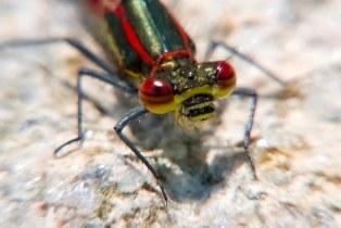 Red Damselfly close up