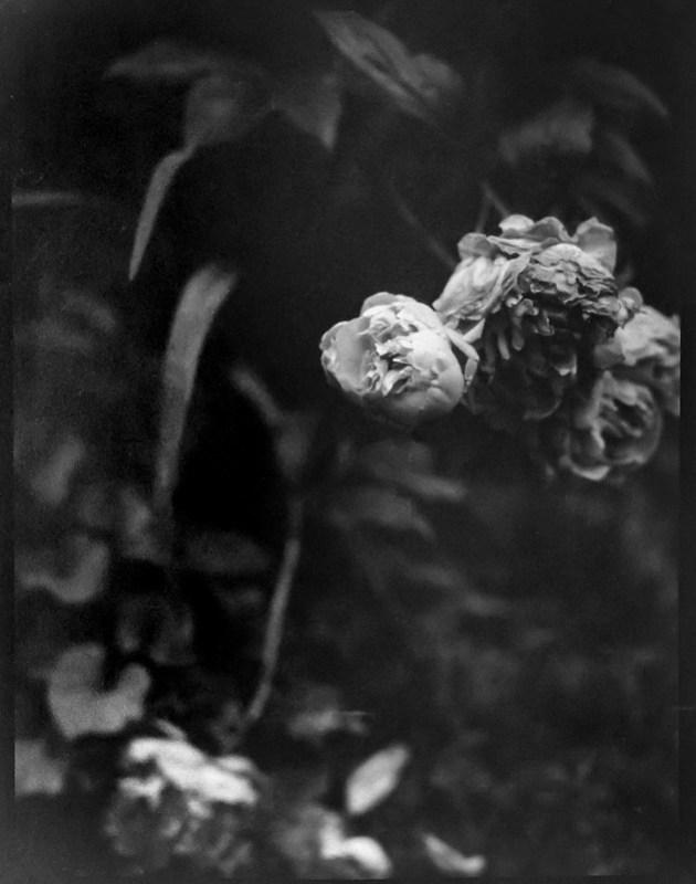 last of the peonies II, Asheville, NC, Folmer Graflex R.B. Series B, 3.25 x 4.25 large format sheet film camera; Kodak Anastigmat f-4.5, 6.6.21