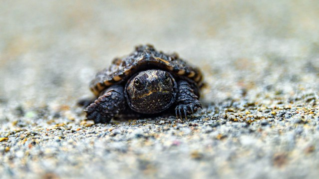 A baby snapping turtle.