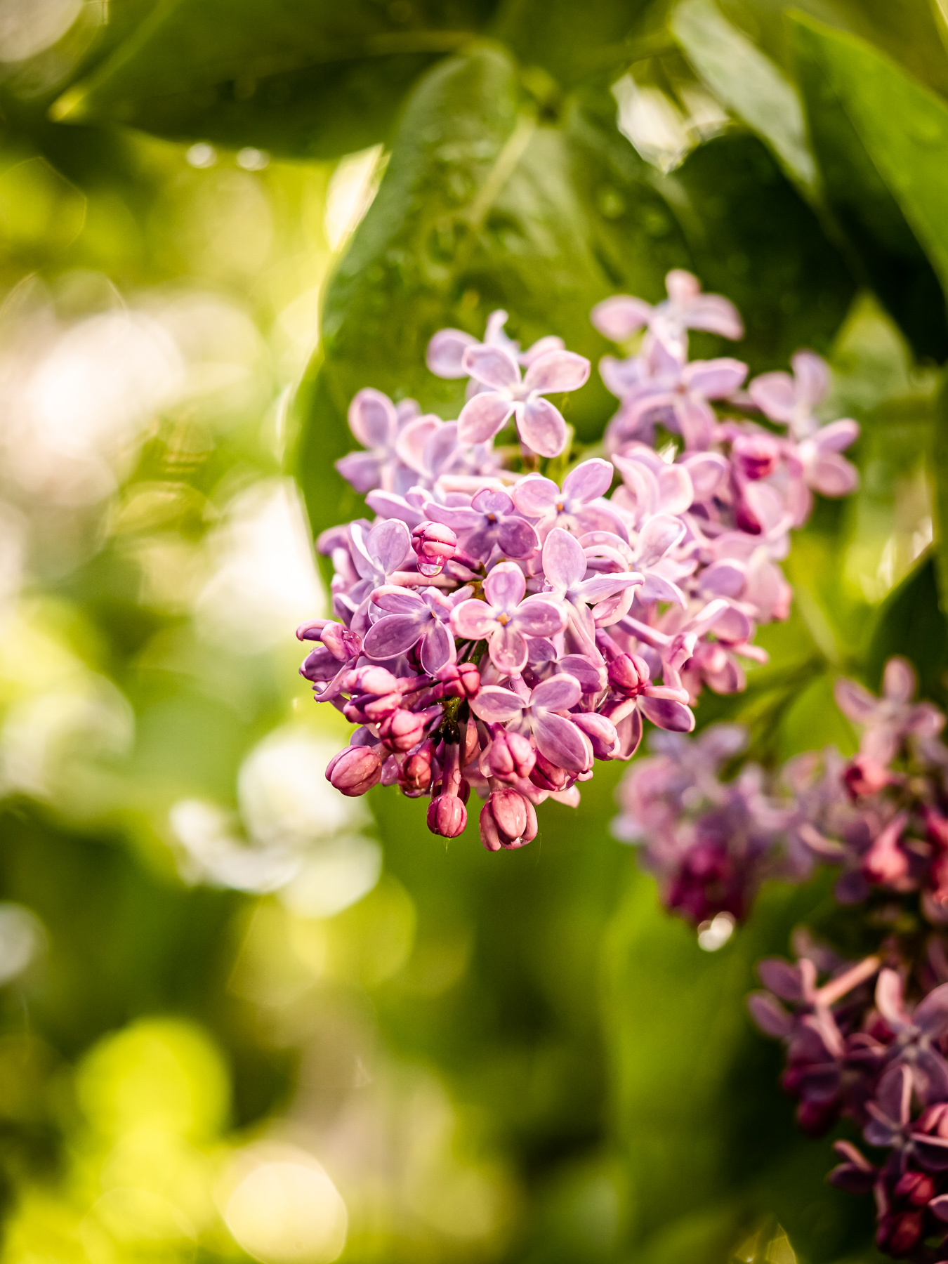 lilac drink recipe