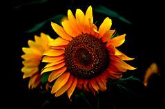 019   Sunflower
