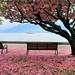 Cherry Blossom Special