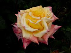 Yellow pink rose