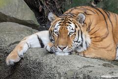 "Siberian Tiger ""Aramis"" - Pairi Daiza - Belgium"