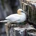 Northern Gannet, on nest