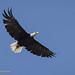 Female Bald Eagle With Wings Spread Wide In Full Flight