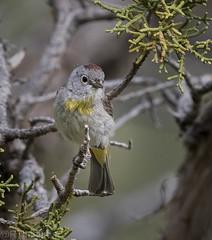 Virginia's Warbler (Oreothlypis virginiae)