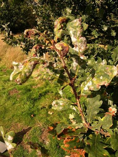 Oak mildew nr CABI