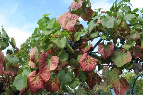 Leafroll virus grapevine tele Wisley