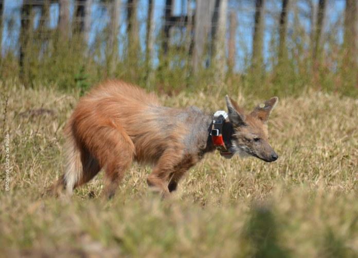 1橫幅:聖保羅州莫科卡市捕捉到的母鬃狼,命名為皮門塔。影像來源:荷傑里奧(Rogério Cunha de Paula)。