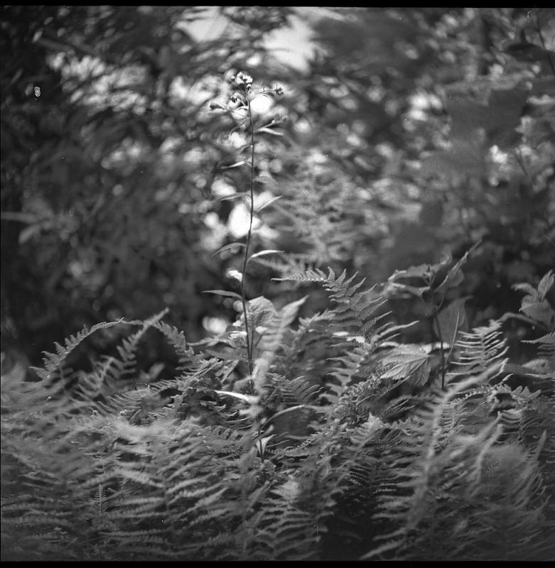 mountain forest, ferns, wildflowers, Lakey Gap Heights, Black Mountain, NC,  Welta Weltur, Fomapan 200, HC-110 developer, 7.6.21