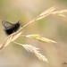 Ptilocephala sp