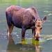 Moose feeding in Lake
