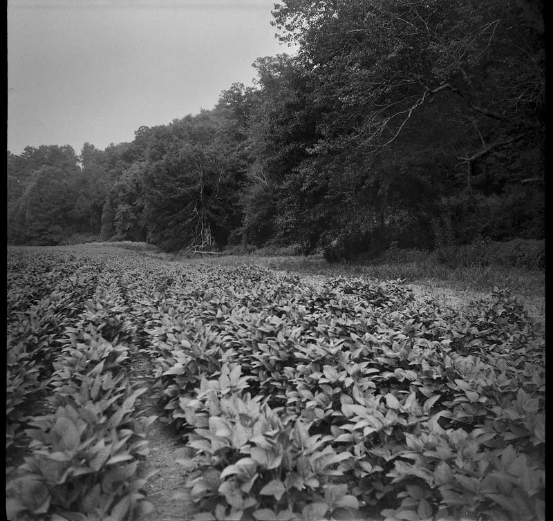 farmland, forest's edge, Biltmore Estate,  Asheville, NC, Welta Weltur, Bergger Pancro 400, HC-110 developer, 8.4.21