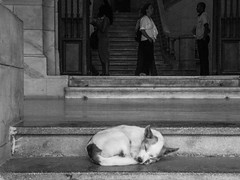 Havana street dog